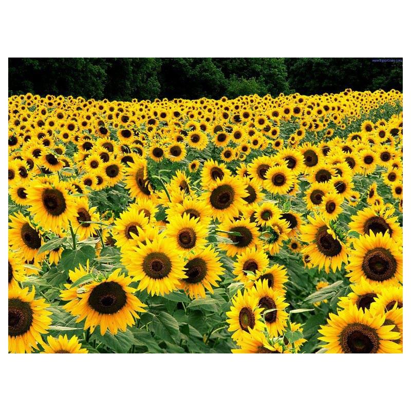 گل آفتابگردان زینتی