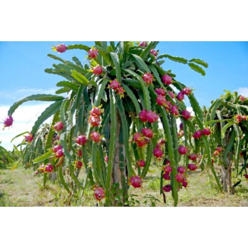 بذر کاکتوس دراگون فروت (میوه اژدها)