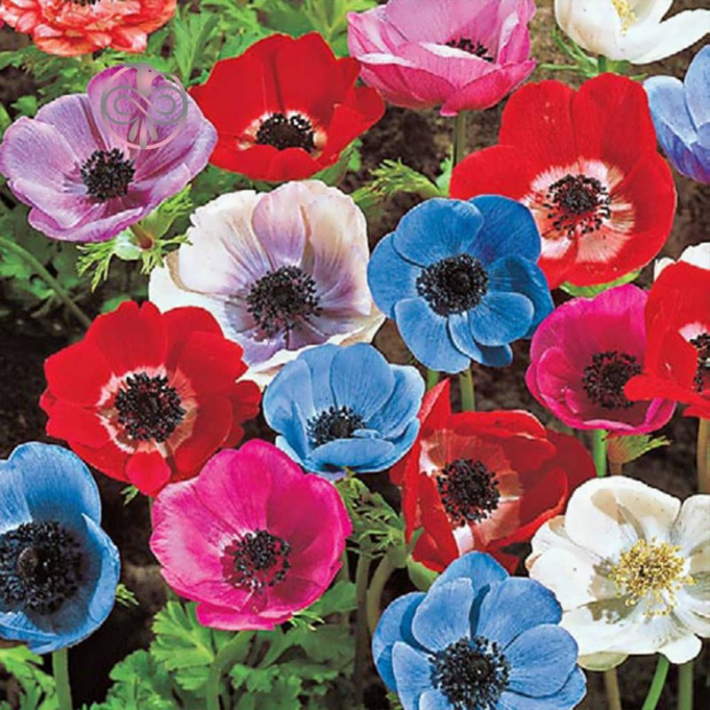 گل شقایق کالیفرنیایی