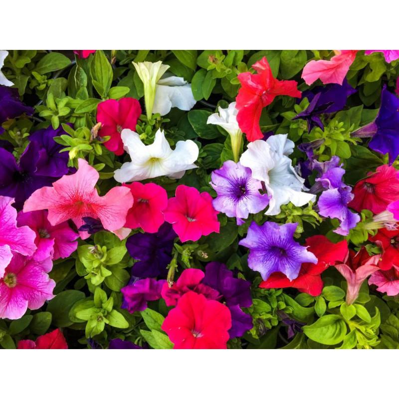 گل اطلسی الوان