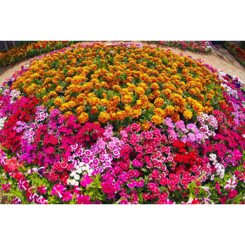 گل اطلسی پرگل