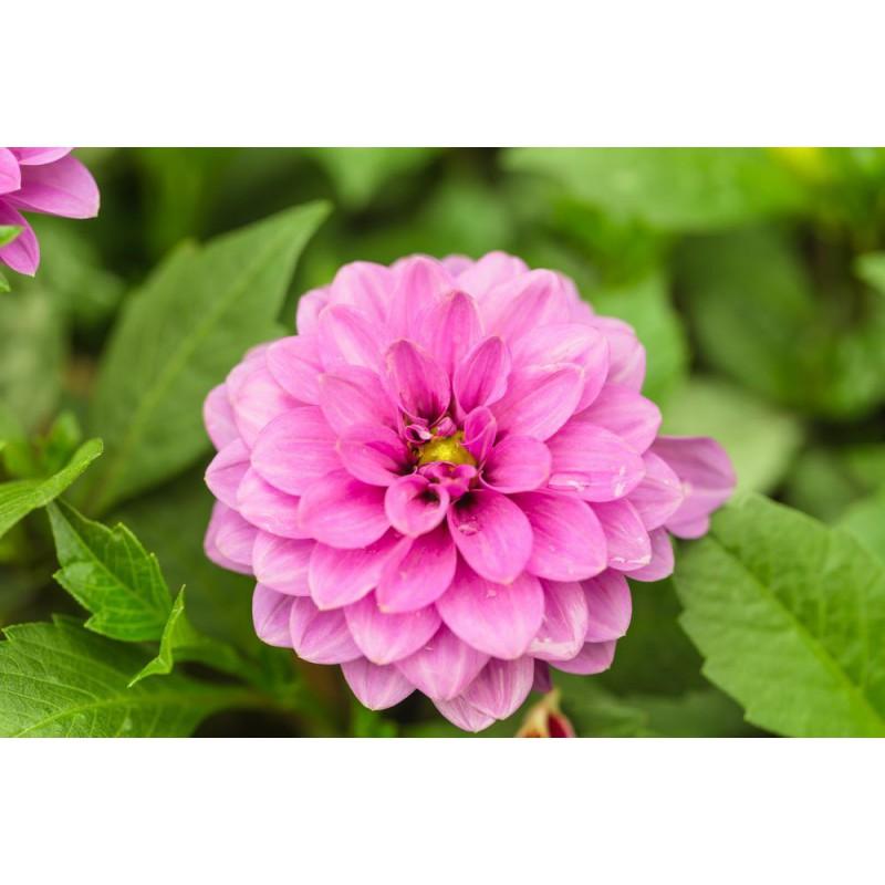 گل آهار صورتی