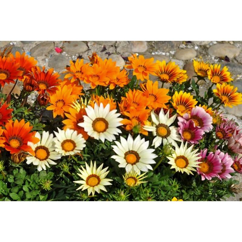 گل گازانیا الوان