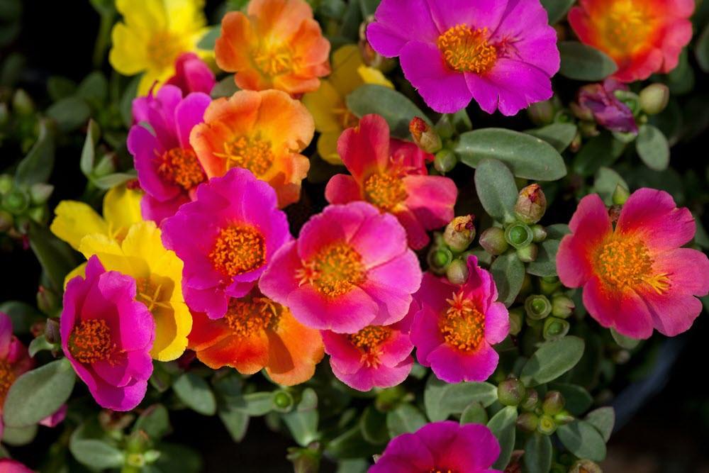 گل ناز آفتابی